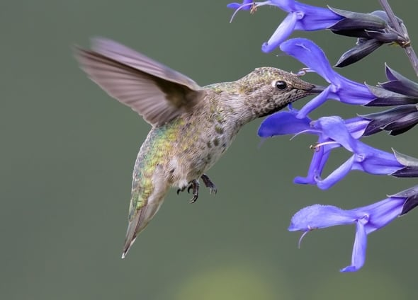 Anna's Hummingbird by Tim Kuhn