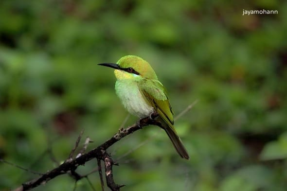 Bee-eater by Jaya Mohan