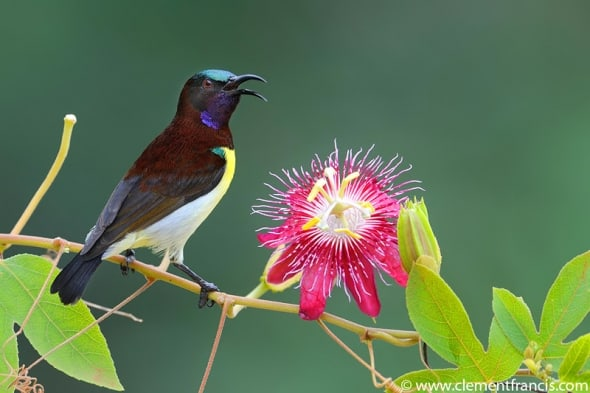 Purple-rumped Sunbird by Clement Francis
