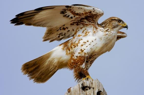 Ferruginous Hawk by Glenn Perrigo