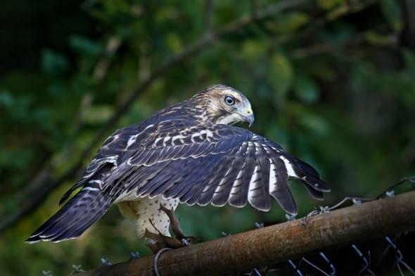 Broad-wing Hawk by Ken Adams
