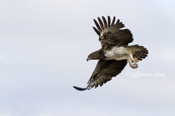 Martial eagle by Jefferson Silva