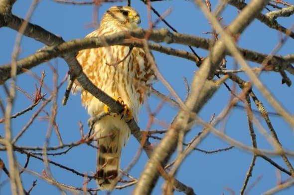 Winter Prairie Merlin Falco columbarius richardsoni by Dave Waddell