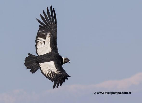 Andean Condor (Vultur gryphus) by Avespampa
