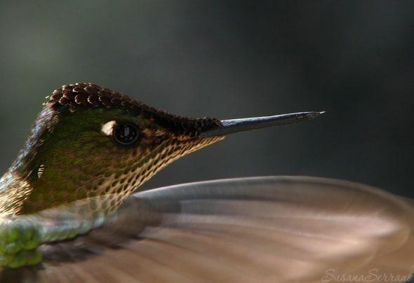 'Picaflor Rubí Sephanoides Sephanoides' by Susana Serrano
