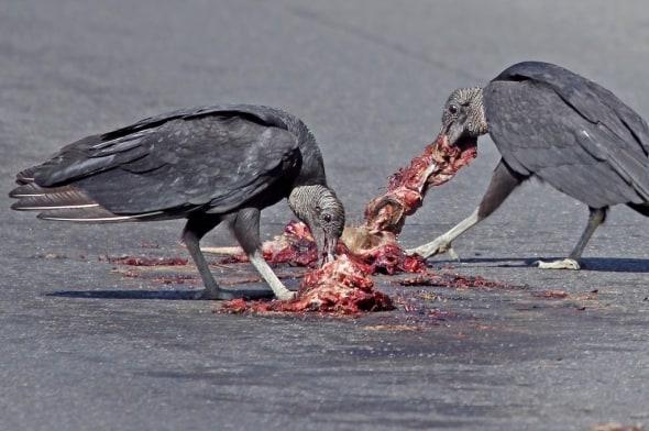 'Black Vulture Table Manners' by Ken Adams