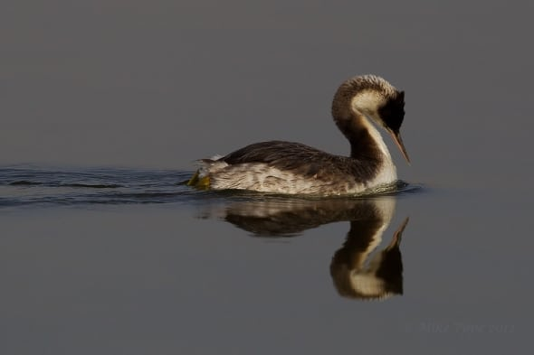 'Grace and symmetry - Great Crested Grebe' by Mike Pope