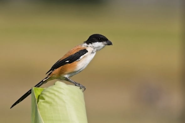 'Long-tailed Shrike' by Tusar Bhowmik, WB, India