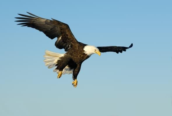'Bald Eagle in Flight' by Harry Eggens