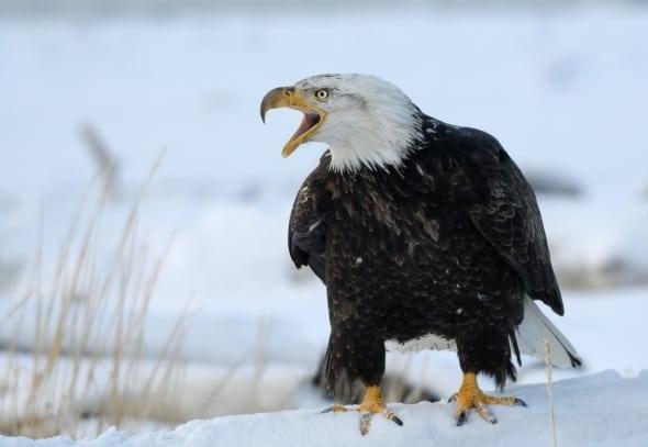 'Bald Eagle on the snowy beach of Kachemak Bay' by Harry Eggens