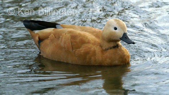 Ruddy Shelduck (Tadorna ferruginea) (3).JPG