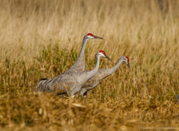 'Sand Hill Cranes' by Herman Veenendaal