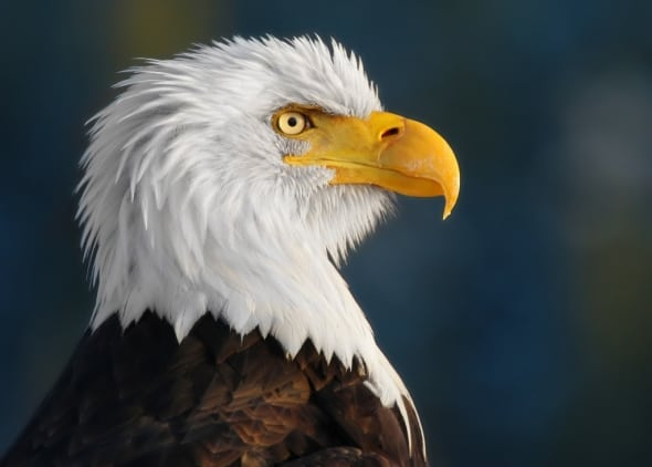 'Proud Eagle' by Pam Mullins