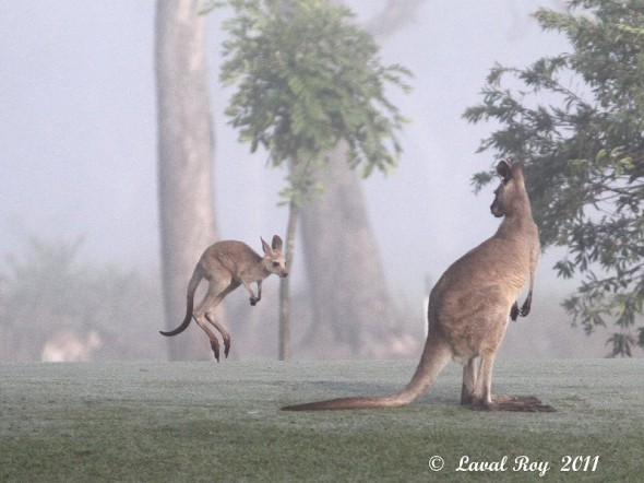 Hey Mom, wait for me !!!  Eastern Gray Kangaroo