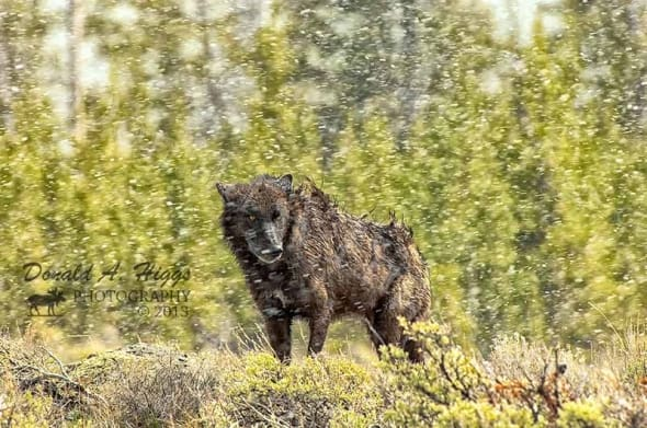A Wolfs Life