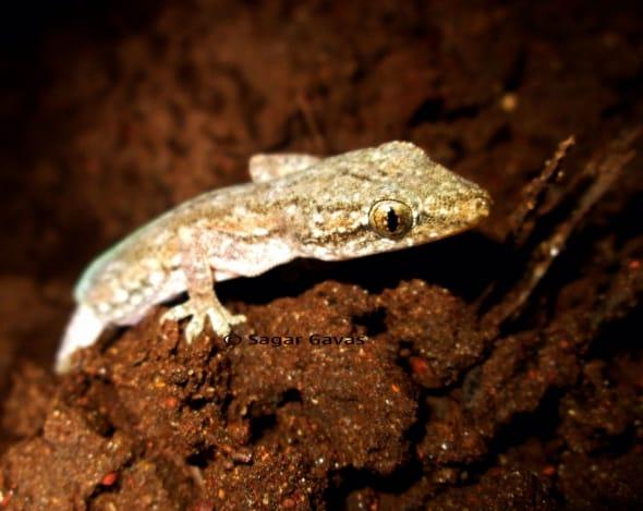 Hemidactylus brookii (house gecko)
