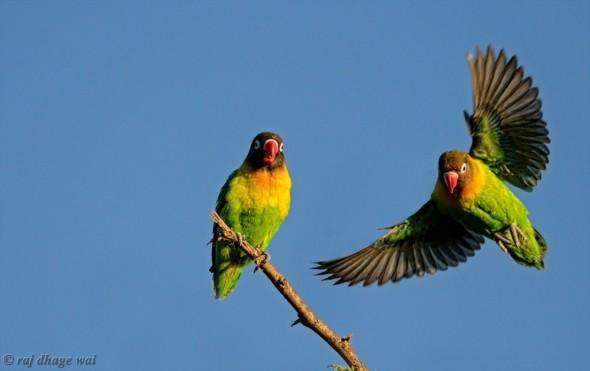Fischer´s Lovebird