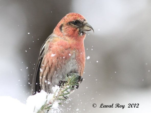 A  moment of magic !  White-winged Crossbill