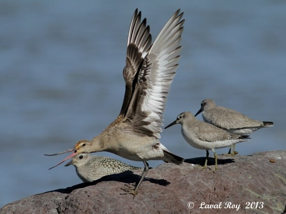 'Eh you ! Get off my rock !  Hudsonian Godwit' by Laval Roy