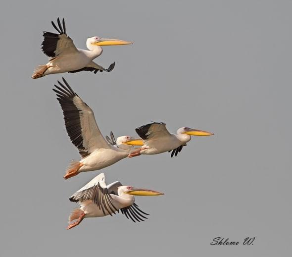 'Pelicans migration' by Shlomo Waldmann