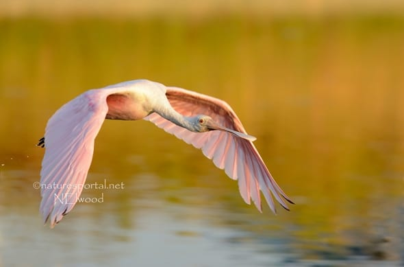 Flight of the Roseate Spoonbill