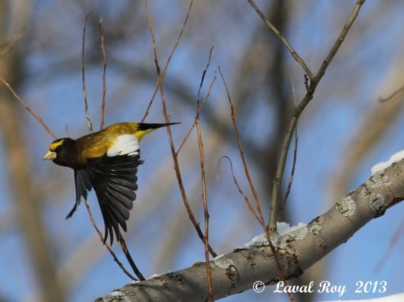 A glimpse of yellow in winter time - Evening Grosbeak
