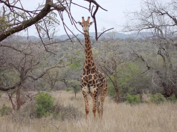 The Beauty of an African Giraffe