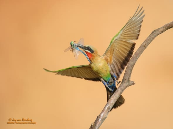 White Fronted Bee Eater with Dragonfly