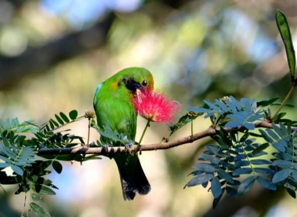 Golden-fronted Leaf Bird