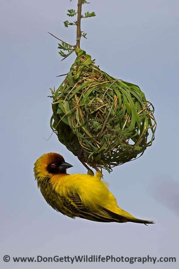 Vitelline Masked Weaver building a nest