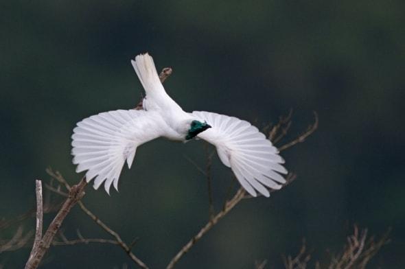 Bare-throated Bellbird (Procnias nudicollis)