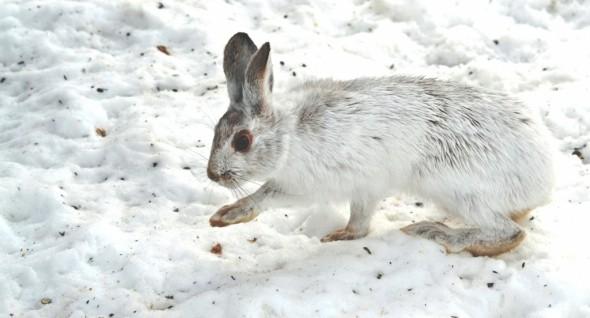 Snowshoe Rabbit in Winter