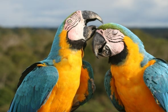 Blue-and-yellow Macaw pair allopreening in the Amazon