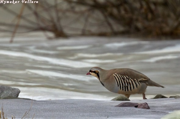Chukar Partridge cross the frozen Indus River at Rumbak Valley, Ladhak, India