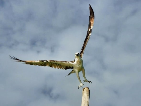 Caribbean Osprey - Free as a Bird