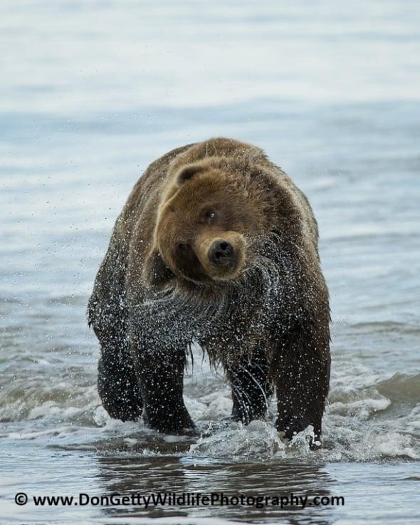 'Alaskan Brown Bear after a swim' by Don Getty