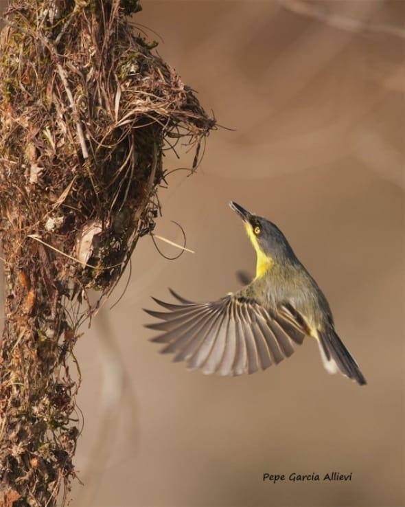 Tody-Flycatcher by Jose Garcia Allievi