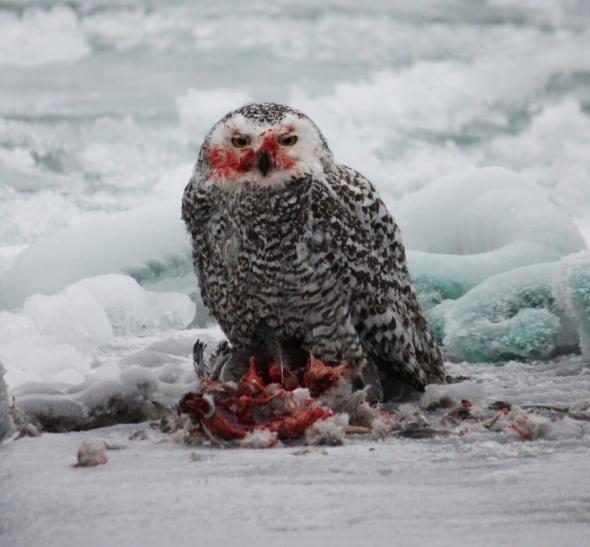 Snowy owl eating a duck