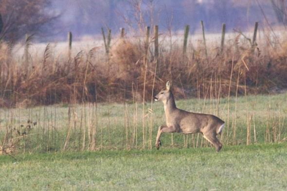 Roe Deer on the Rhine Delta (02)