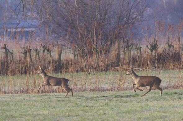 Roe Deer on the Rhine Delta (06)