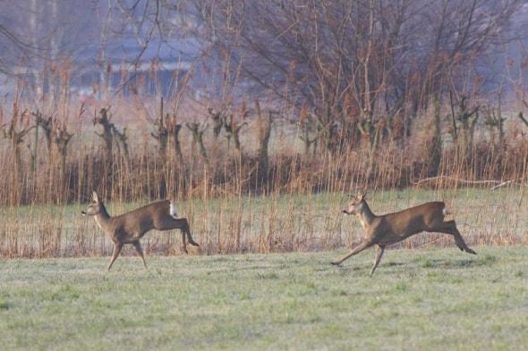 Roe Deer on the Rhine Delta (07)