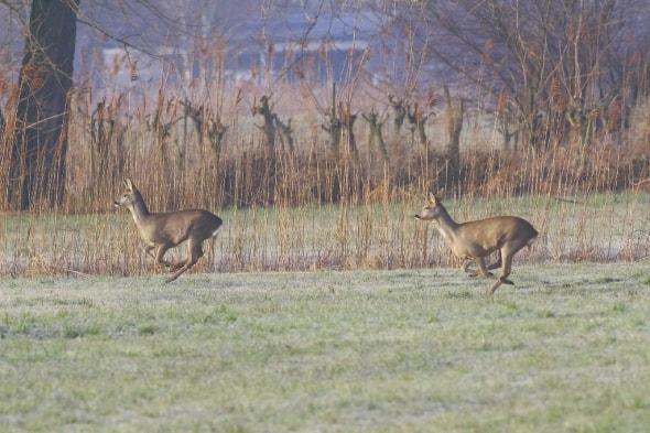 Roe Deer on the Rhine Delta (08)