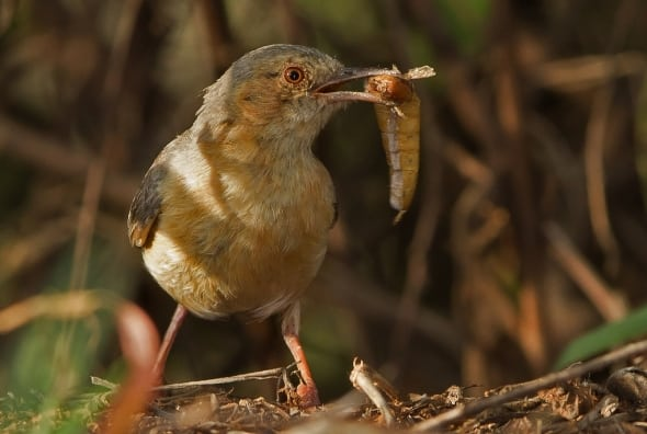 Red-faced Crombed with Prey
