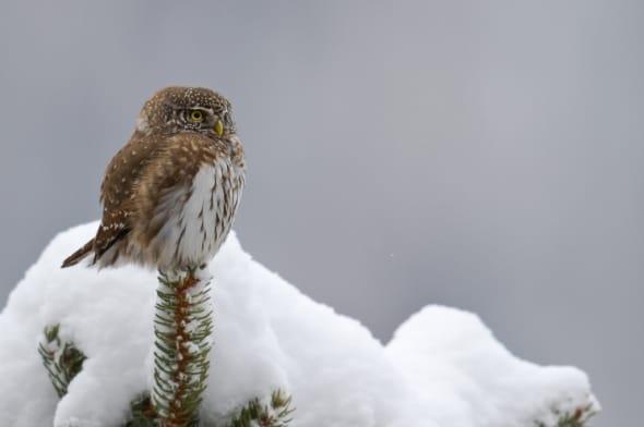Winter - European pygmy owl