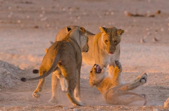 Lion cub temper tantrum