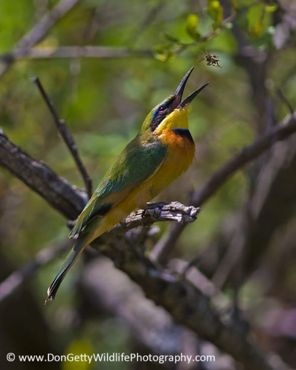 Little Bee-eater tossing a bee