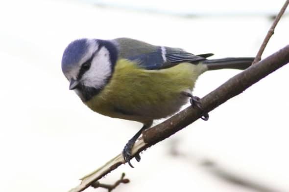 Eurasian Blue Tit (Parus caeruleus) (19)