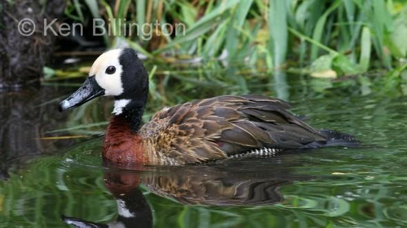 White-faced Whistling Duck (Dendrocygna viduata) (1).jpg