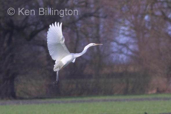 Great White Egret (Casmerodius albus) (26)