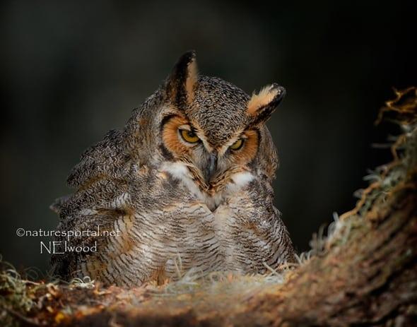 Great Horned Owl On Eggs